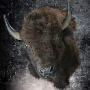 boutique-taxidermie-bison