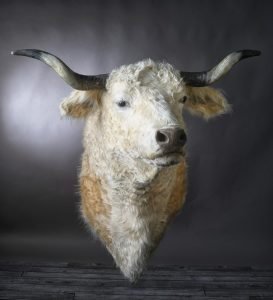 boutique-taxidermie-vache17