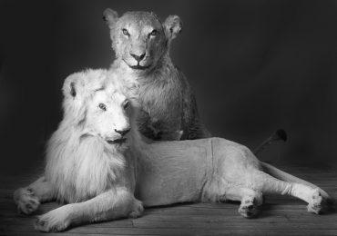 LION BLANC ET LIONNE PHOTO NOIR ET BLANC